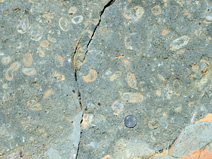 Rocks containing oncolites were found just below the trilobite layer