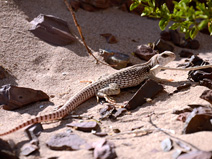 This large lizard was curious about our activities near the Dumont Dunes