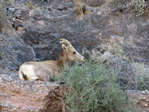 This Desert Bighorn Sheep had a badly broken leg