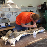 One of Julia Sankey's students prepares a large fossil bone