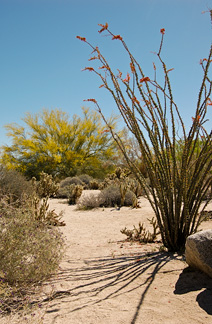 Blooming ocotillo and palo verde