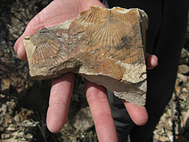 Fossil scallops