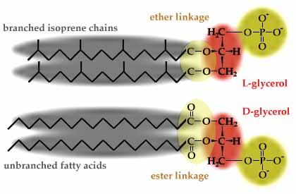 Ether-linked vs ester-linked phospholipids