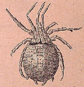 Drawing of fossil trigonotarbid