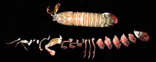 Crustaceamorpha