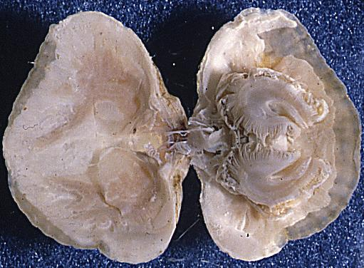 more on morphology of brachiopoda