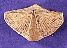 introduction to the brachiopoda