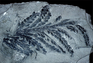 the fern-like leaves of Archaeopteris, one of the first tree-like plants