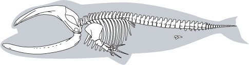 http://www.ucmp.berkeley.edu/education/lessons/images/whale_skeleton.jpg