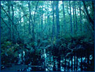 Bald cypress swamp in Florida