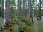 Bald cypress swamp in southern Illinois