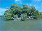 A mangrove in Florida Bay