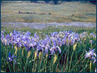 A wet meadow with wild irises