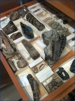 Drawer of Caldecott vertebrate fossils