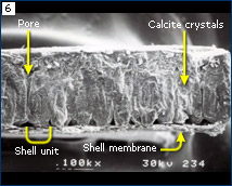 SEM of recent bird eggshell