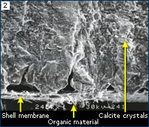 SEM image of Morus eggshell showing composition