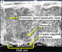 SEM image of Corythaixoides eggshell showing major features of eggshell microstructure