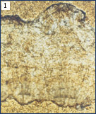 Thin section of fossil eggshell from the Jurassic of Colorado