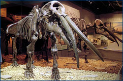 The Gomphotherium skeletal mount at The Museums at Blackhawk