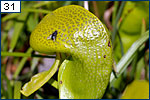 A fly on Darlingtonia