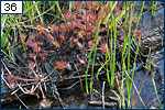 The rosette habit and tentacle-covered leaves of sundew