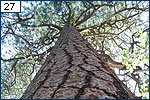 Looking up at a Ponderosa pine