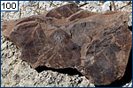 There are often many layers of fossil leaves
