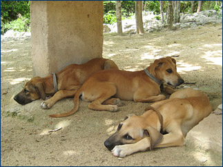 The three 'vicious' attack dogs that the group found guarding the entrance to the Choc Mool cave system