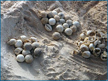 An exposed clutch of mostly hatched sea turtle eggs