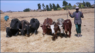 Fertile fields have been harvested and the cut grain is separated from the chaff using oxen