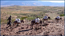 The donkeys take the samples on the first leg of their journey