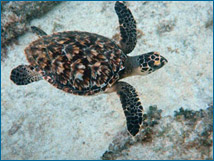 A healthy adult sea turtle sighted offshore near Akumal