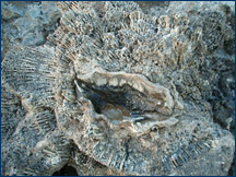 The giant clam, <i>Tridacna</i>, wedged into a colony of the coral <i>Galaxia fascicularis</i>