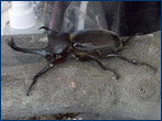 A close-up of a Rhinoceros Beetle