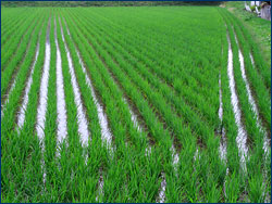 A closer view of a rice paddy