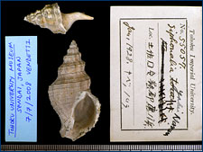 Another fossil whelk