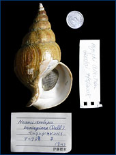 One of the dextral (right-coiling) shells in the Higuchi collection