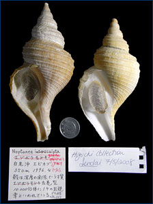 A sinistral specimen of whelk that is normally dextral