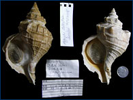 Another sinistral specimen of whelk that is normally dextral
