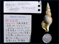 And another sinistral specimen of whelk that is normally dextral