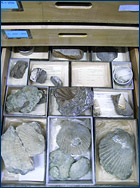 A drawer full of fossil shells at the National Science Museum