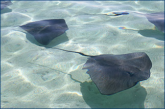 Pink whiptail rays in a sandy lagoon near Papetoai