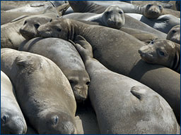 Elephant seals bask on the beach at Año Nuevo