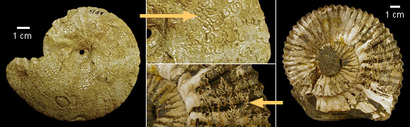 Ammonoids with more complex sutures