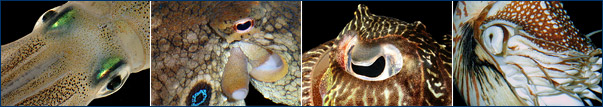 Eye morphology in cephalopods