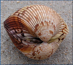 The Atlantic Giant Cockle ( Dinocardium robustum ), a heterodont ... Open Oyster Shell With Pearl