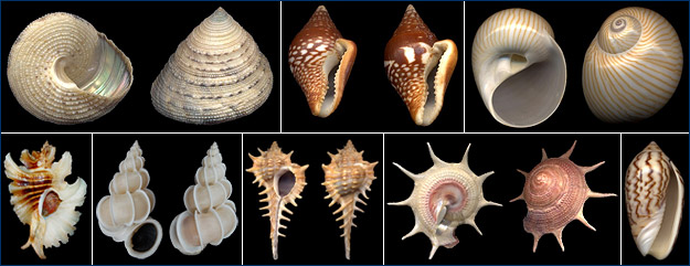 Variation in shell morphology in some marine gastropods