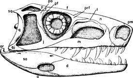 Lateral view of the skull of Euparkeria