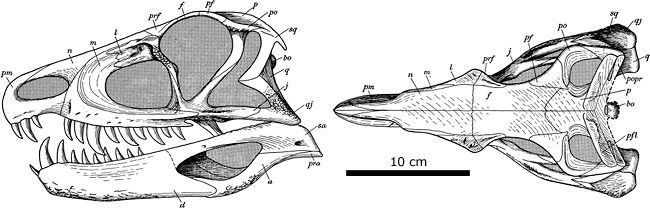 Lateral and dorsal views of the skull of Ornithosuchus