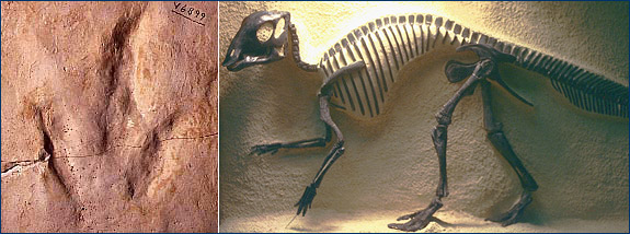 Dinosaur footprint and baby Maiasaura
